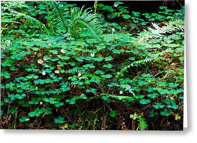 Clover And Ferns On Downed Redwood Greeting Card by Panoramic Images