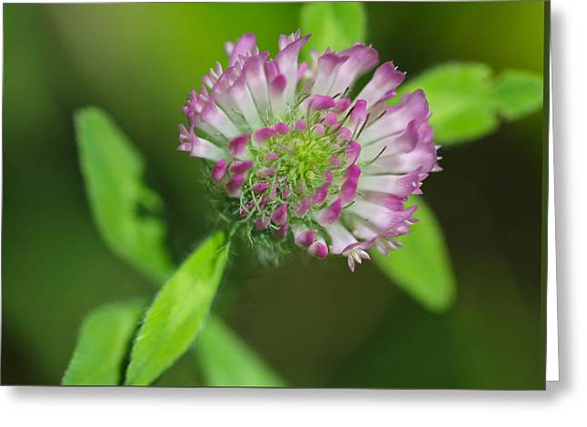 Clover Greeting Card by Tracy Male