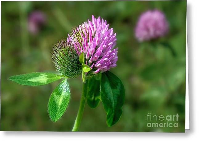 Clover - Wildflower Greeting Card by Henry Kowalski
