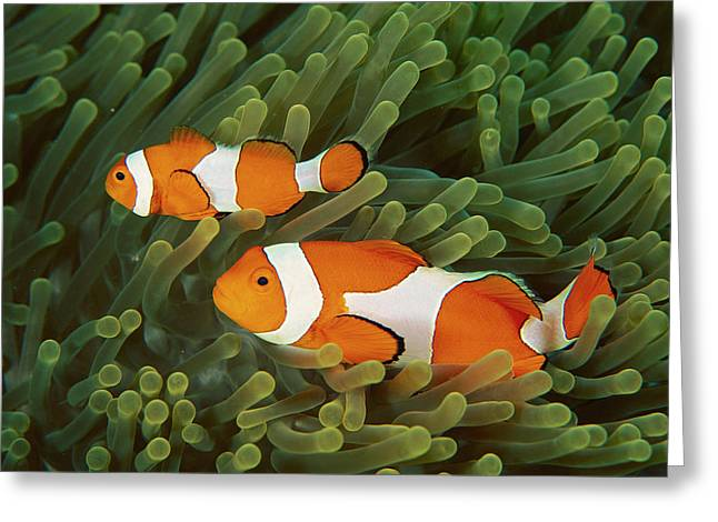 Clown Anemonefish Amphiprion Ocellaris Greeting Card by Mark Spencer
