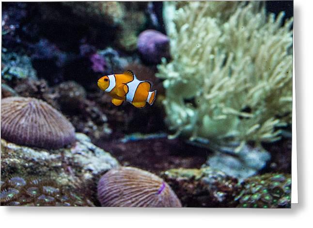 Clownfish 1 Greeting Card by Douglas Barnett