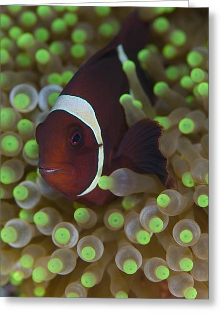 Clownfish In Anemone Greeting Card by Science Photo Library