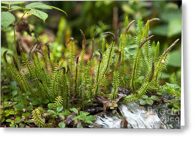Club Moss Lycopodium Greeting Card by Jason O Watson