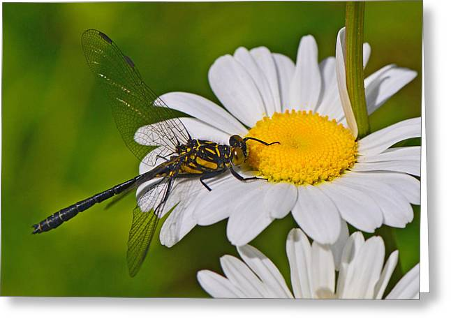 Clubtail Dragonfly On Oxeye Daisy Greeting Card