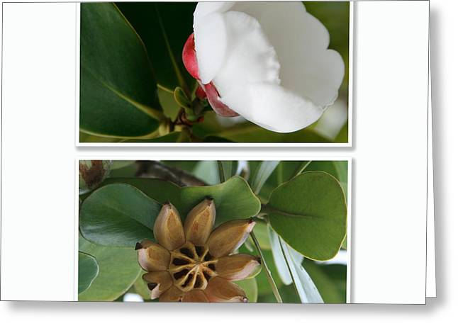 Clusia Rosea - Clusia Major - Autograph Tree - Maui Hawaii Greeting Card by Sharon Mau