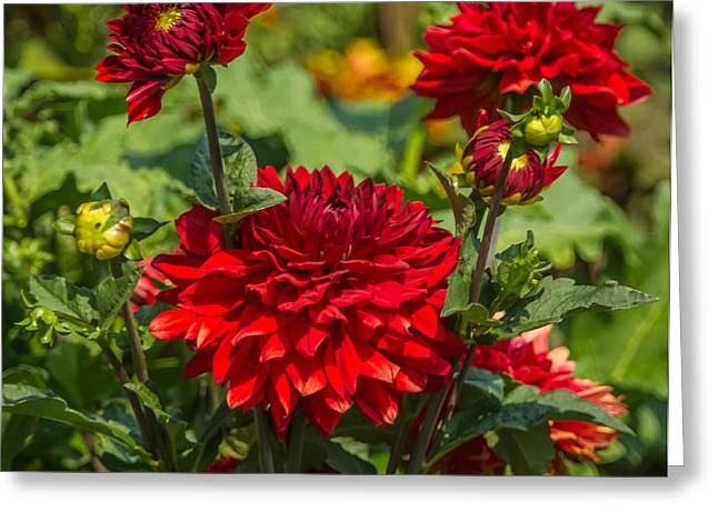 Cluster Of Dahlias Greeting Card