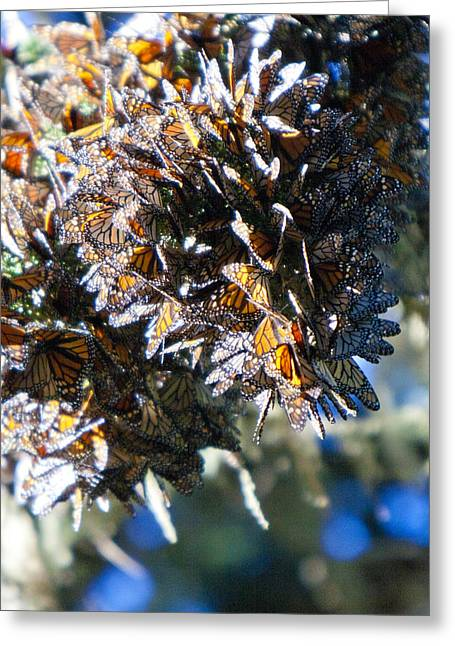 Clustering Monarch Butterflies Greeting Card by Patricia Sanders