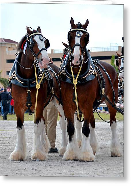 Greeting Card featuring the photograph Clydesdales 3 by Amanda Vouglas