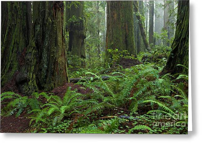 Coast Redwoods And Ferns In Redwood Greeting Card by Yva Momatiuk and John Eastcott