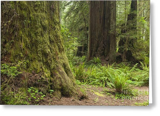 Coast Redwoods, Ca Greeting Card by John Shaw