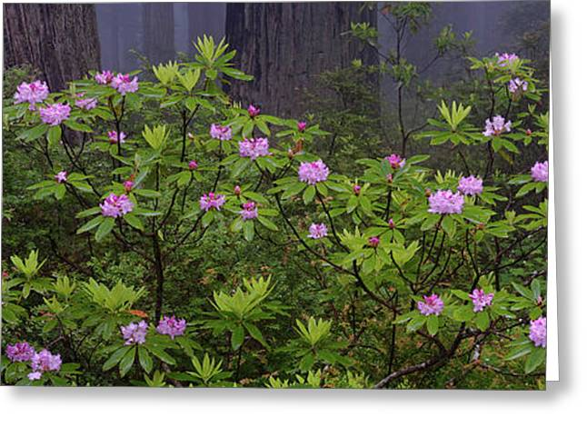 Coastal Redwood Sequoia Sempervirens Greeting Card by Panoramic Images