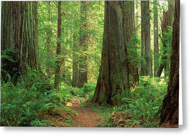 Coastal Sequoia Trees In Redwood Forest Greeting Card by Panoramic Images