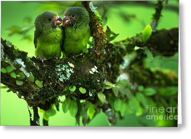 Cobalt-winged Parakeets Greeting Card by Art Wolfe