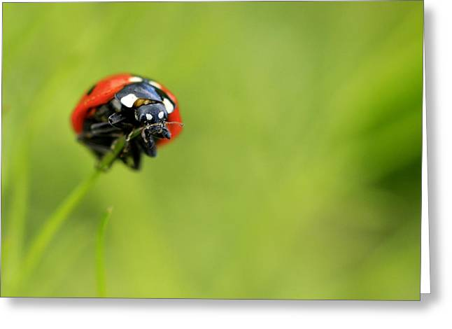 Coccinellidae  Greeting Card