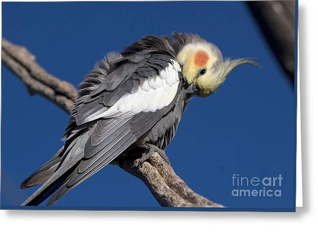 Cockatiel - Canberra - Australia Greeting Card by Steven Ralser
