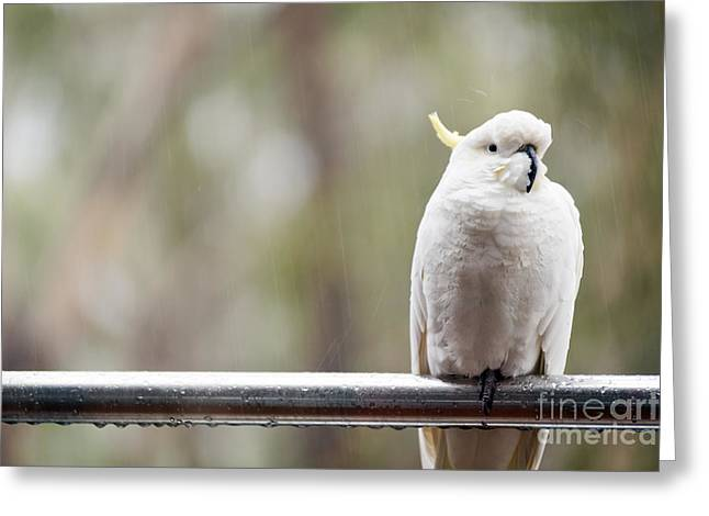 Cockatoo In Rain Greeting Card by Tim Hester