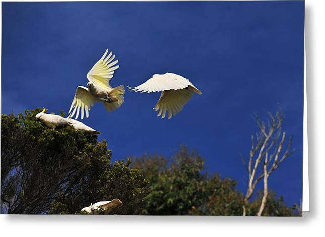 Cockatoos On The Wing Greeting Card