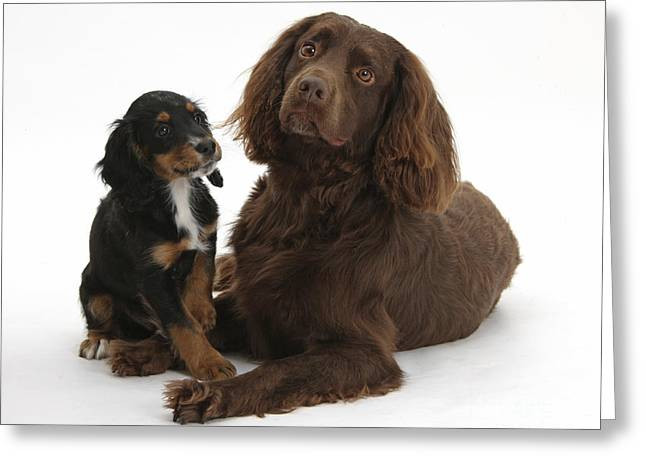 Cocker Spaniel And Tricolor Pup Greeting Card