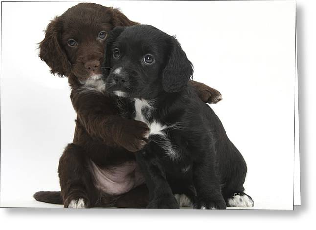 Cocker Spaniel Puppies Greeting Card by Mark Taylor