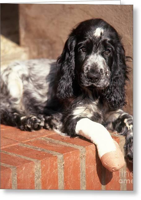 Cocker Spaniel With A Bandaged Leg Greeting Card