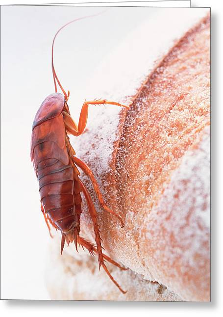 Cockroach On Bread Greeting Card by Gustoimages/science Photo Library