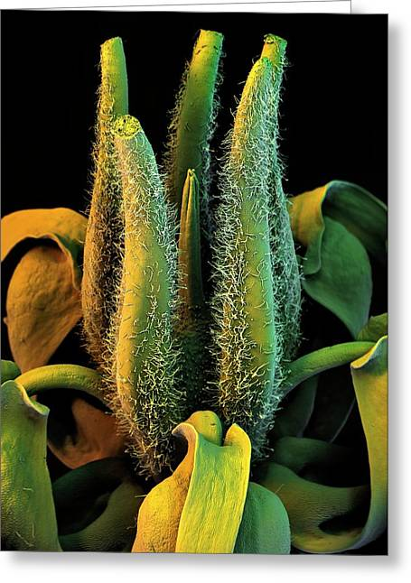 Cocoa Tree Flower Greeting Card by Stefan Diller