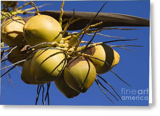 Coconut 1 Greeting Card by Teresa Zieba