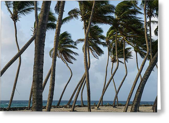 Coconut Palm (cocos Nucifera Greeting Card by Pete Oxford