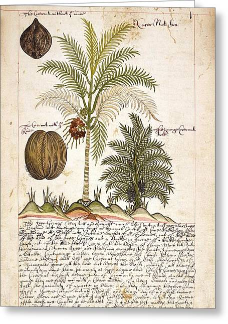 Coconut Palm Tree Greeting Card by British Library