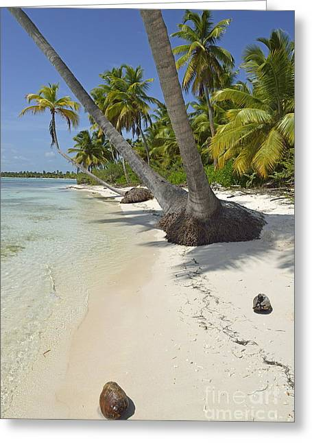 Coconuts On Pristine Tropical Beach Greeting Card by Sami Sarkis