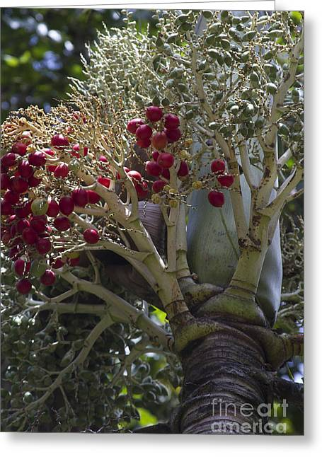 Cocos Nucifera - Niu Mikihilina - Palma Greeting Card by Sharon Mau
