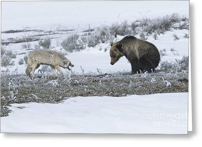 Confrontation In Hayden Valley Greeting Card by Bob Dowling
