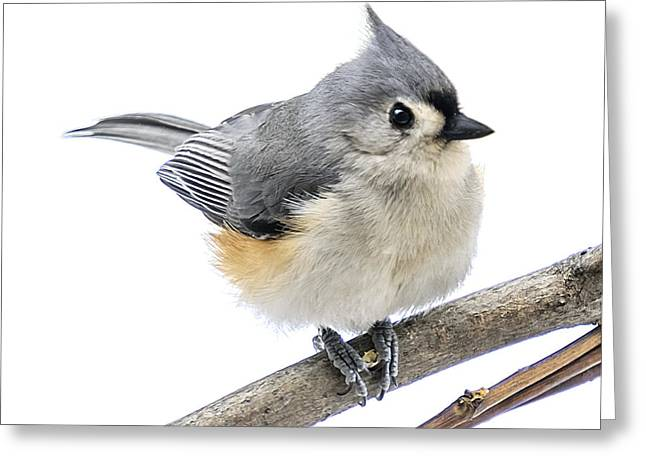 Cold But Tough Titmouse Greeting Card by LeeAnn McLaneGoetz McLaneGoetzStudioLLCcom