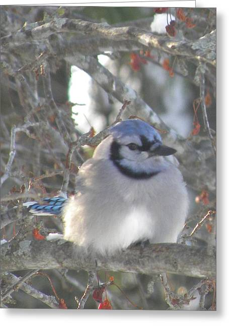 Cold Canadian Bluejay Greeting Card