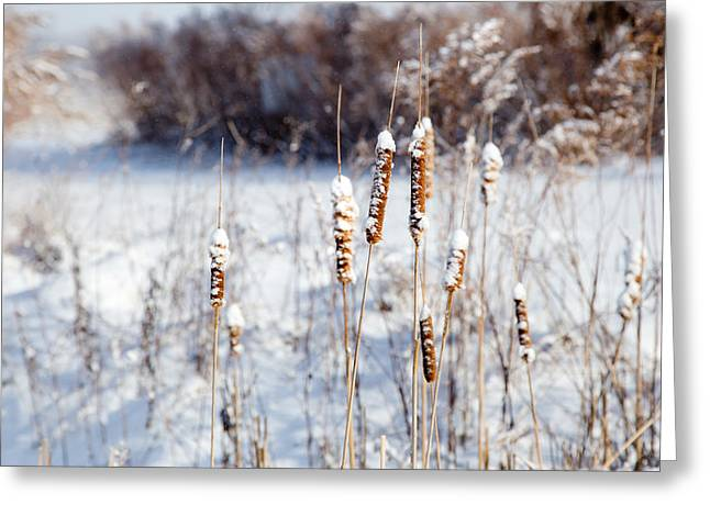Cold Cattails Greeting Card