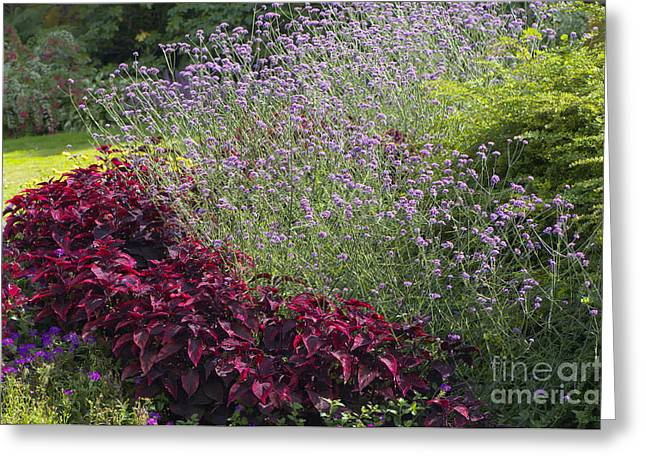 Coleus And Lavender Greeting Card