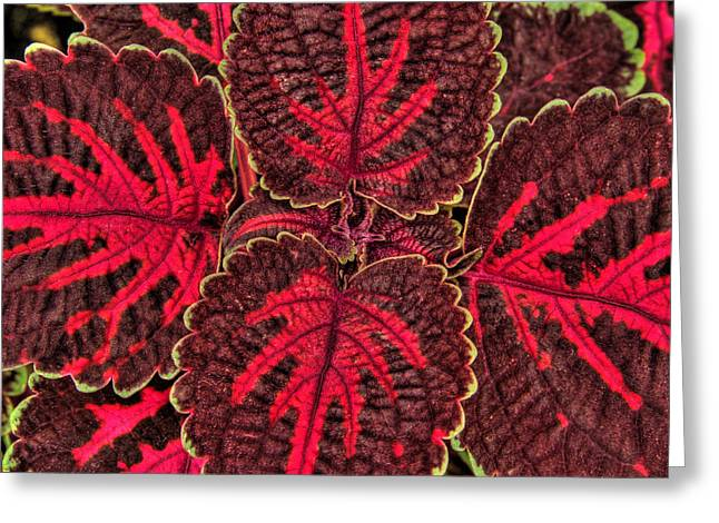 Coleus Close-up Greeting Card by Rob Huntley