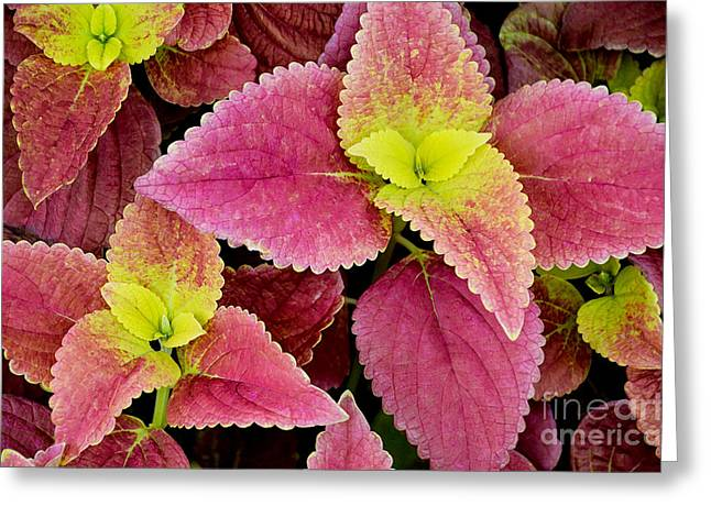 Coleus Colorfulius Greeting Card by David Lawson