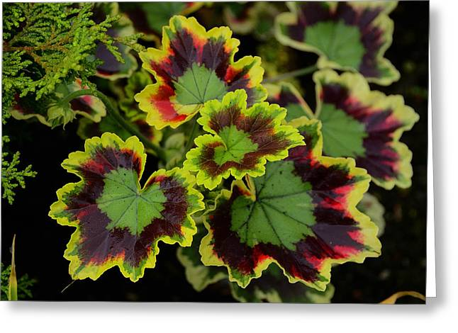 Coleus Greeting Card by Richard Henne