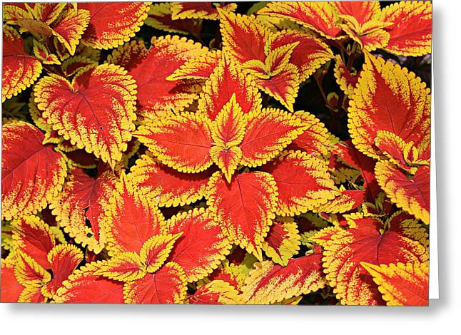 Coleus Greeting Card by Stephen Stookey