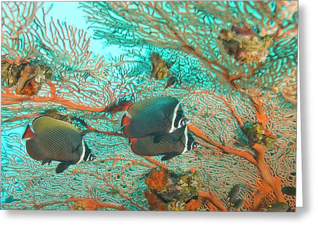Collare Butterflyfish (chaetodon Collare Greeting Card by Stuart Westmorland