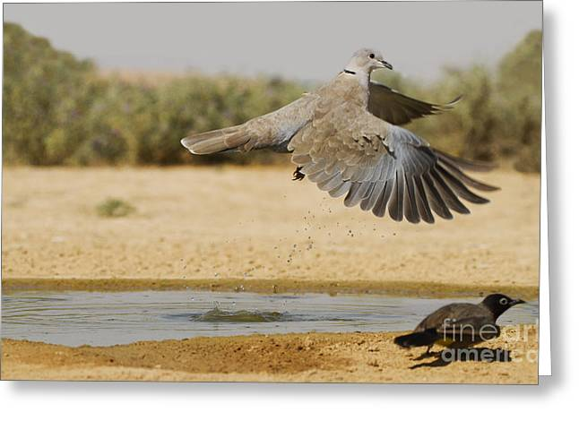 Collared Dove  Greeting Card by Eyal Bartov
