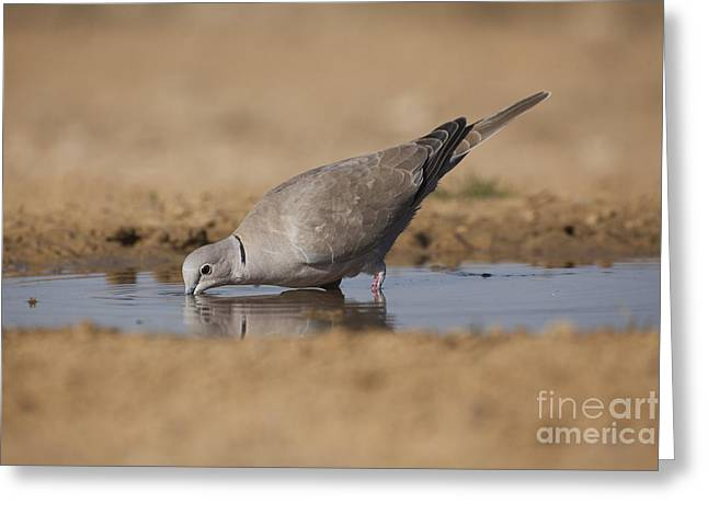 Collared Dove Streptopelia Decaocto Greeting Card