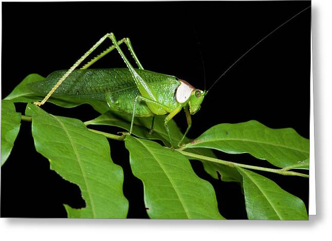 Collared Katydid (euceraia Greeting Card