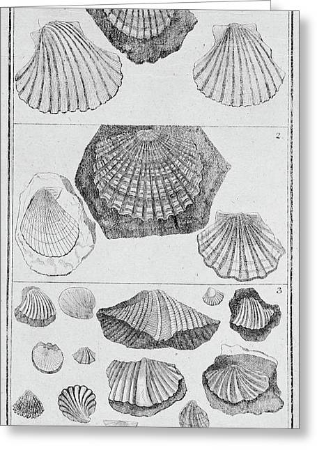 Collection Of Molluscs Greeting Card by Natural History Museum, London