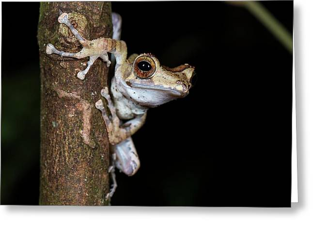 Collett's Tree Frog At Night Greeting Card by Scubazoo
