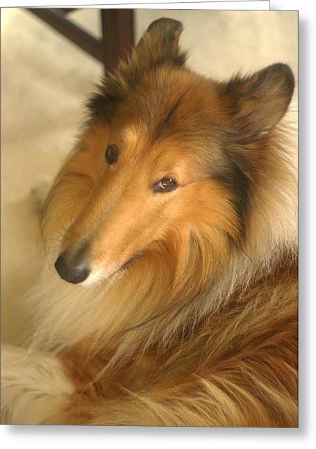 Collie Glamour Shot Greeting Card by Suzanne Powers