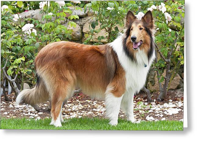 Collie Standing In Front Of White Roses Greeting Card