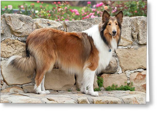Collie Standing On A Sandstone Bench Greeting Card