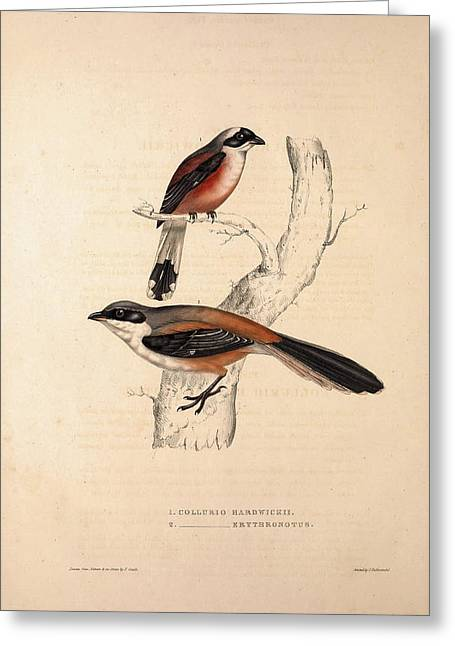 Collurio Hardwickii, Collurio Erythronotus. Birds Greeting Card by Quint Lox